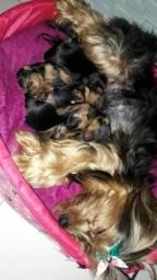 Filhotes de Yorkshire Terrier pura raça