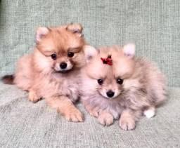 Filhotes de spitz alemão anão disponíveis Lulu da pomerania