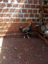 Galo + galinha + três franguinhos caipira
