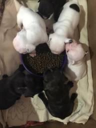Bulldog francês lindos machos e fêmeas
