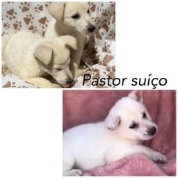 Pastor suíço com pedigree e microchip até 18x