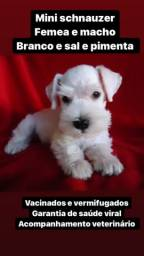 Mini schnauzer com pedigree - machos