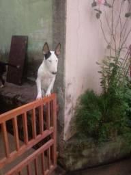 Bulli terrier inglês