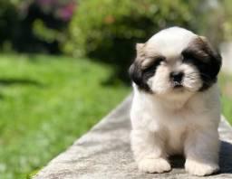 Bebês lindos shih tzu com pedigree