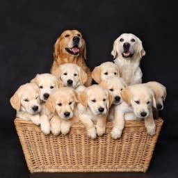 Golden filhotes fofos prontos para entrega!