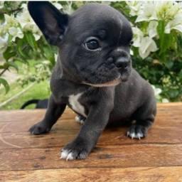 Bulldog Francês pirata, preto, creme, chame no whats *<br><br><br>