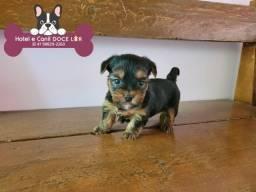 Título do anúncio: Yorkshire Terrier,  Filhote Disponível !