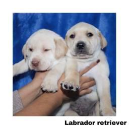 Título do anúncio: Labrador com pedigree e microchip em até 12x
