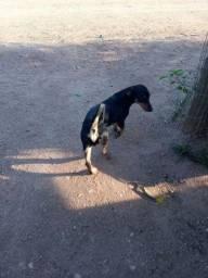 Título do anúncio: Cachorro salsicha preto