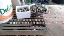 Ovos de codornas gigantes