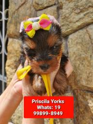 Yorkshire terrier machos e fêmeas baby face