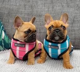 Filhotes de Bulldog Francês perfeitos