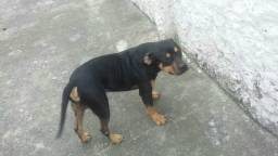 American bully tricolor