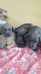 Lindos bebês de cane corso italiano