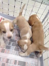 Beagle! Lindos Filhotes!