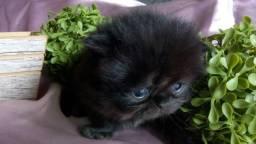 Último bebê persa!!!!