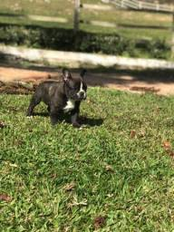 Bulldog Francês Macho R$1.400