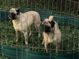 Casal de Pug e uma bulldog francês por apenas (2500)