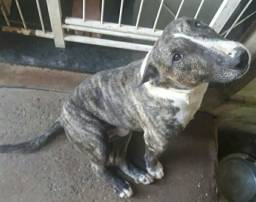 Bull Terrier Toy Cobertura
