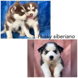 Husky siberiano com pedigree e microchip até 18x