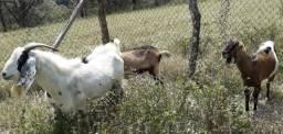 Bodes e Cabras próximo de dar cria - Baratos