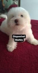 Lindos filhotes maltês