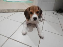 Beagle fêmea 13 polegadas