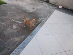 Chihuahua - Linda Fêmea - Menor Raça do Mundo