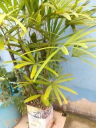 Coquinho plantado -