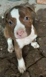 Filhotes de pitbull Apbt( American Pitbull Terrier)