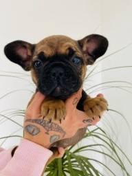 Título do anúncio: Bulldog Francês macho R$1.700,00