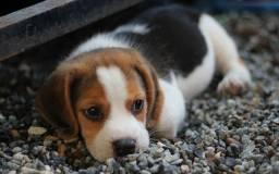 Lindos filhotes disponíveis de Beagle