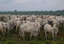 Vendo vacas de 24 a 36 mês