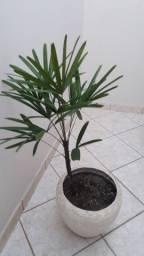 Palmeira Ráfia Rafis com 1 metro de altura