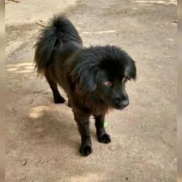 Vendo Cachorro macho com 10 meses, raça chow chow 650