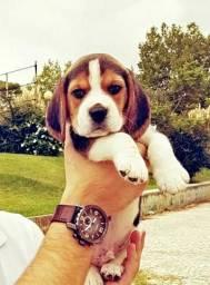 Beagle de verdade, Puros , Abaixei o Valor Pra você levar o seu. Aceita Cartão!