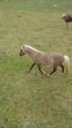 Cavalo pônei baio super manso pra criança
