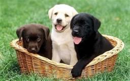 Labrador amarelo/preto/chocolate- padrão CBKC -(11)95932-0322