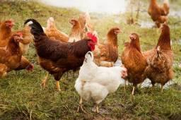 vendo galinhas (lote ou unidade)