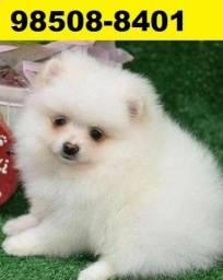 Canil Premium Filhotes Cães BH Spitz Alemão Maltês Yorkshire Shihtzu Lhasa Beagle