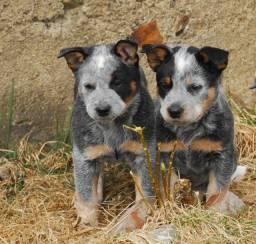 Blue Heeler disponíveis -pedigree