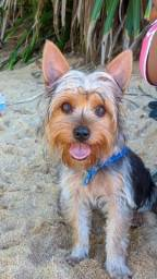 Yorkshire Terrier ( Bart ) Procurar de Namorada !!!