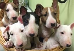 Bull Terrier filhotinhos a pronta entrega com pedigree
