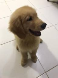 Golden Retriever 70 dias