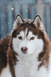Husky Siberiano filhotes (Disponível)