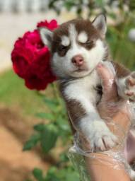 Husky siberiano com pedigree e microchip em até 18x