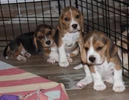 Incríveis filhotes de Beagle