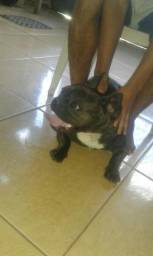 Vendo ou troco Bulldog francês