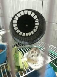 Hamster Chinês Filhotes