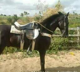 Vendo ou troco cavalos manga larga marchador